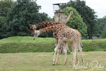 Giraffes at Cotswold Wildlife Park by Rachel Oates