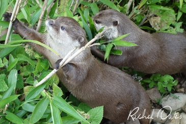 Otters by Rachel Oates