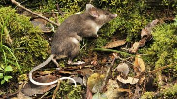 Hog Nosed Shrew Rat article by Rachel Oates for Weird Nature