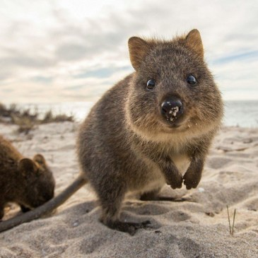 Quokkas article by Rachel Oates for Weird Nature